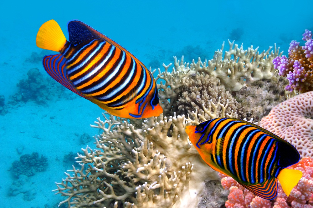 Beautiful Colorful Coral Reefs And Fish Angelfish are one of many