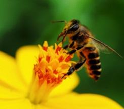 Honeybees: Where's the Buzz?