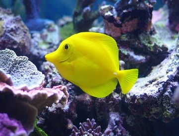yellow fish for home