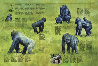 Gorillas - Kids Discover
