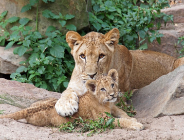 Mother Lion & Cub